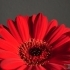 Gerbera -- rote Gerbera Hybride