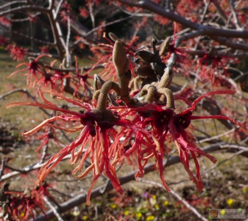 Hamamelis intermedia 'Carmine Red' -- Mittlere Zaubernuss 'Carmine Red'