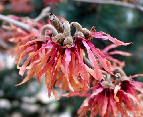 Hamamelis intermedia 'Diane' -- Zaubernuss Hybride