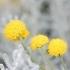Santolina chamaecyparissus -- Graues Heiligenkraut