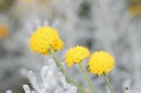 Santolina chamaecyparissus -- Heiligenkraut