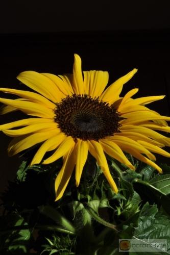 helianthus annuus sonnenblume garten pflanzen blumen gartenbetriebe g rtnereien baumschulen. Black Bedroom Furniture Sets. Home Design Ideas