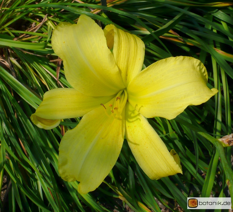 Hemerocallis Kulturform 'Atlas'