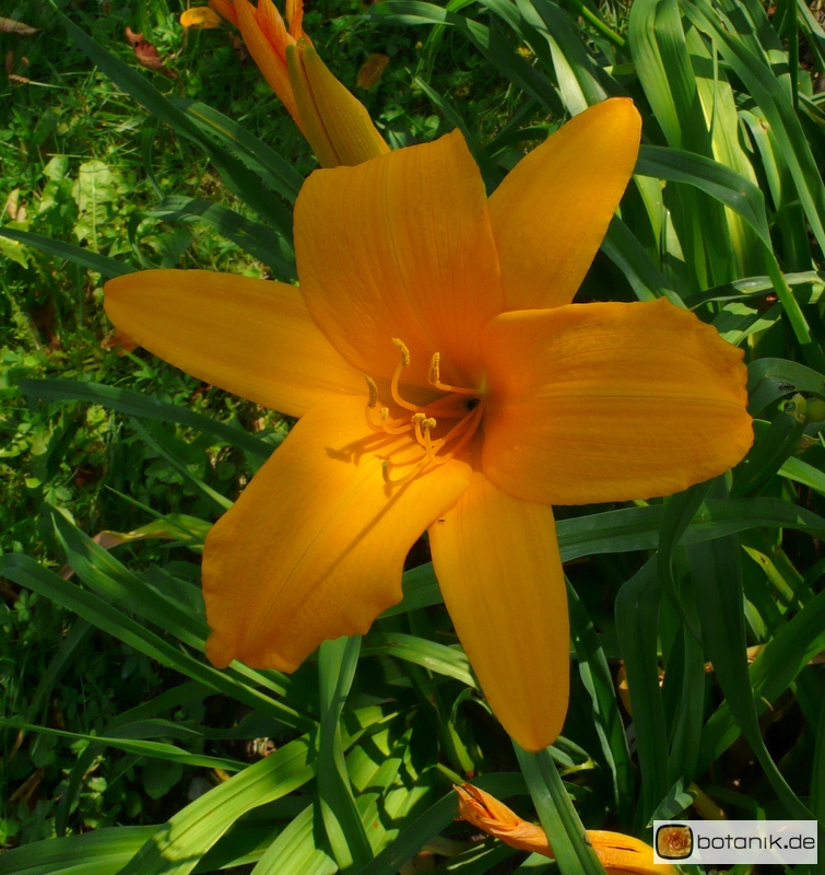 Hemerocallis Kulturform Orange Beauty -- Taglilie