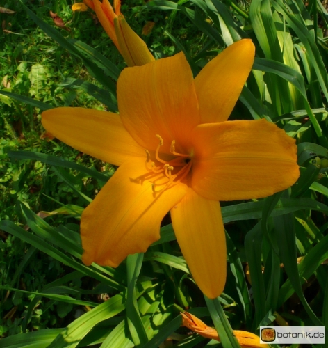 Hemerocallis Kulturform Orange Beauty -- Taglilie