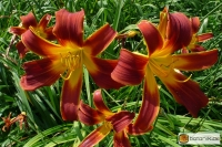 Hemerocallis Kulturform 'Redwood'