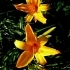 Hemerocallis Orange Bright -- Taglilie