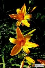 Hemerocallis Orange Bright -- Taglilie