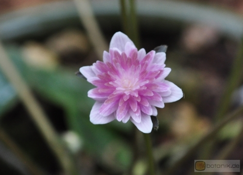 Hepatica Yuunagi Windstille am Abend