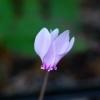 Cyclamen hederifolium -- Efeublättriges Alpenveilchen