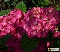 Hydrangea macrophylla 'Chaperon Rouge' -- Gartenhortensie 'Chaperon Rouge'