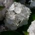 Hydrangea macrophylla 'Emile-Mouillere' -- Gartenhortensie 'Emile-Mouillere'