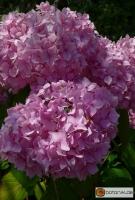 Hydrangea macrophylla Gen Vicomtesse de Vibraye -- Gartenhortensie 'Gen Vicomtesse de Vibraye'