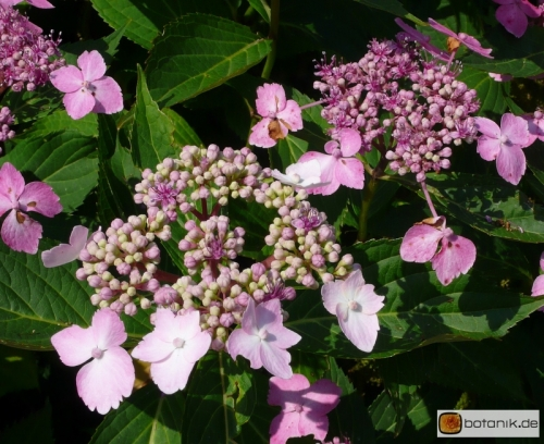 Hydrangea macrophylla Lilacina -- Gartenhortensie 'Lilacina'