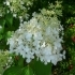 Hydrangea paniculata 'Dolly' -- Rispen-Hortensie 'Dolly'