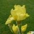 Iris Barbata Media 'YPL4 52' -- Mittelhohe Bart-Iris