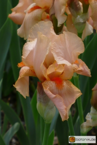 Iris Barbata elatior 'Aprikosen Prinzess' -- Hohe Bart-Iris