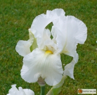 Iris Barbata elatior 'Cliffs of Dover' -- Hohe Bart-Iris