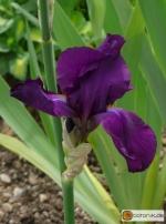 Iris Barbata elatior Favori -- Hohe Bart-Iris