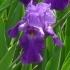 Iris Barbata elatior 'Mary Mc Clellan' -- Hohe Bart-Iris