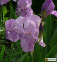 Iris Barbata elatior 'Pinks Satin' -- Hohe Bart-Iris