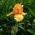 Iris Barbata elatior 'Piroska' -- Hohe Bart-Iris