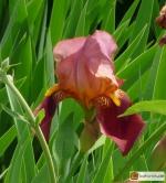 Iris Barbata elatior 'Rosy Wings' -- Hohe Bart-Iris