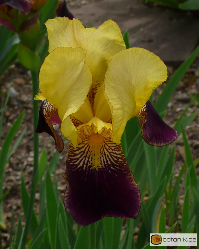 Iris Barbata elatior Thrudwang -- Hohe Bart-Iris