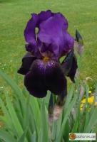 Iris Barbata elatior Velvet Dusk -- Hohe Bart-Iris