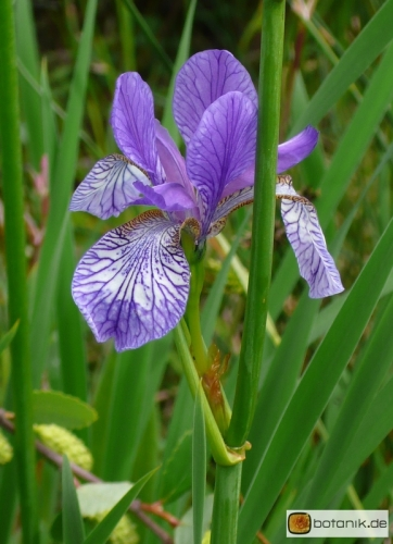 Iris setosa -- Borsten-Schwertlilie