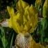 Iris variegata -- Bunte Schwertlilie