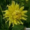 Kaktus Dahlie 'kennemerland'