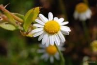 Chamaemelum nobile -- Kamille