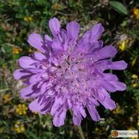 Knautia arvensis -- Wiesen-Witwenblume