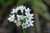 Allium tuberosum -- Schnittknoblauch