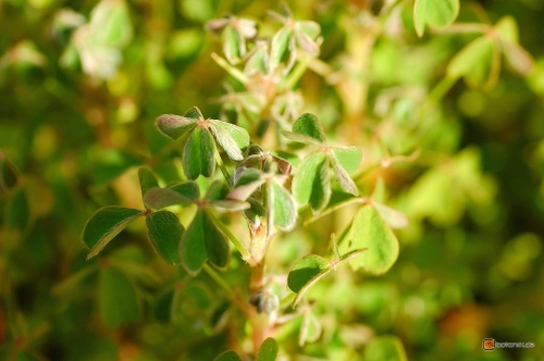 Oxalis tuberosa -- Knolliger Sauerklee