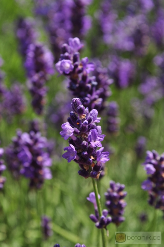lavandula angustifolia 39 peter pan 39 lavendel garten pflanzen blumen gartenbetriebe. Black Bedroom Furniture Sets. Home Design Ideas