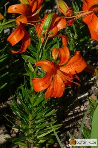 Lilium Bulbiferum Hybride John Dix -- Feuer-Lilie