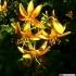 Lilium hansonii
