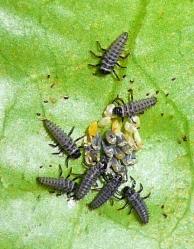 Marienkäferlarven