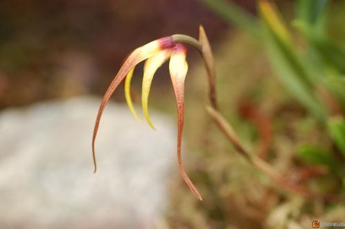 Maxillaria lepidota
