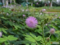 Mimosa pudica -- Mimose