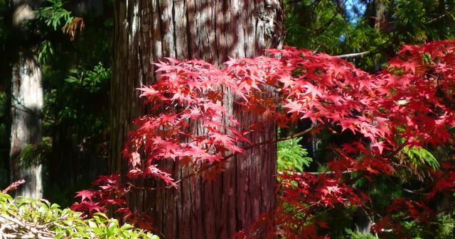 Acer palmatum -- Fächer-Ahorn