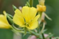 Oenothera biennis -- Nachtkerze