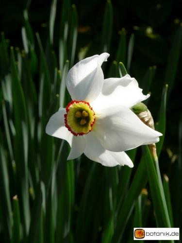 Narcissus Hybride Ceylon