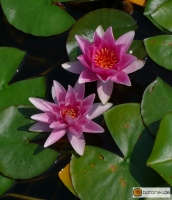Nymphaea Formosa