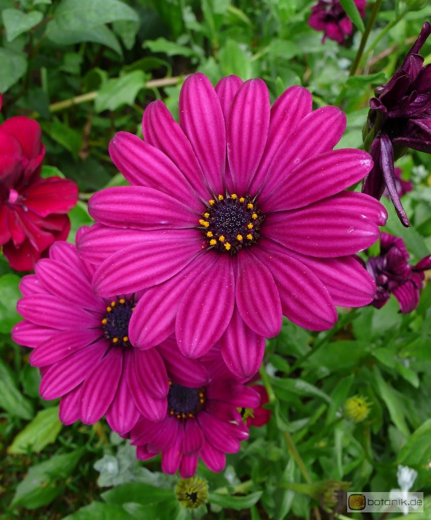 Osteospermum Purple Red Paternosterstrauch Garten Pflanzen