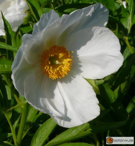 Paeonia emodi -- Himalaya Pfingstrose