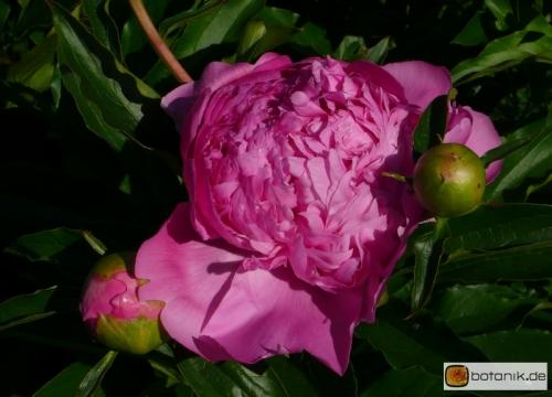 Paeonia lactiflora 'Surugu' -- Chinesische Pfingstrose