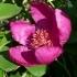 Paeonia mascula -- Korallen-Pfingstrose
